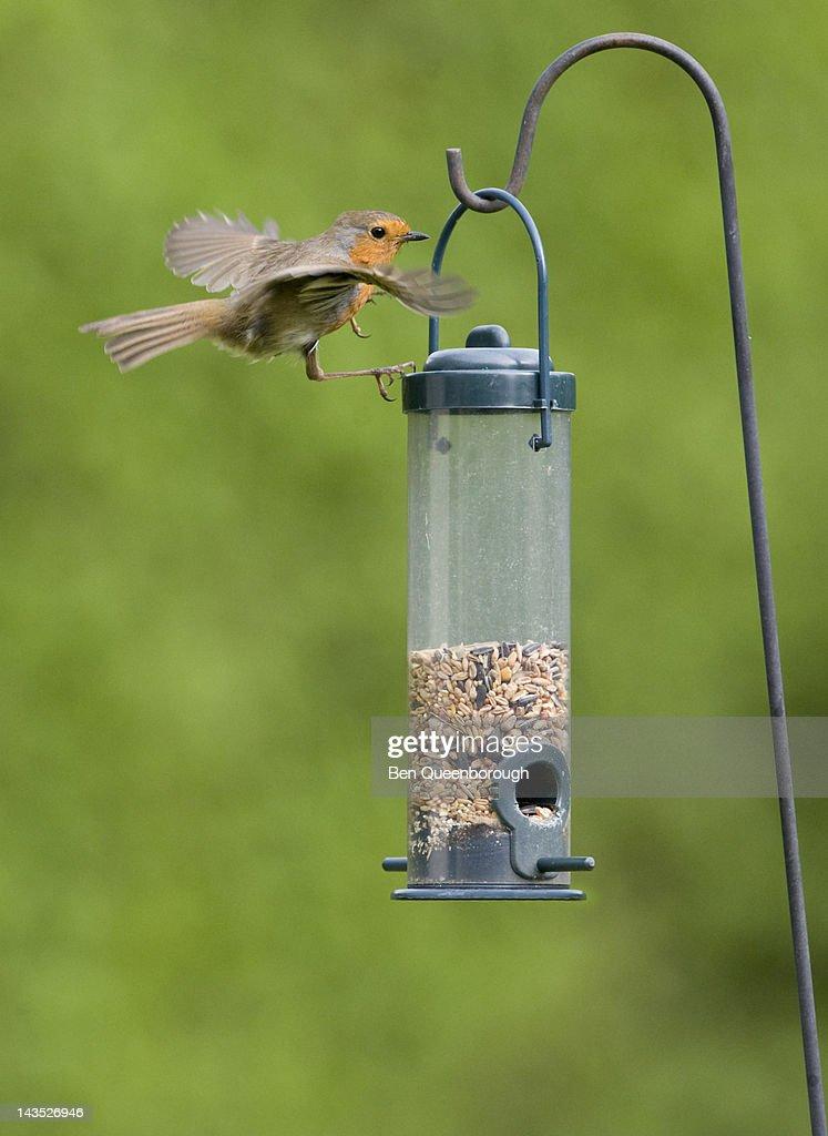 A European Robin flying towards a bird feeder : Stock Photo