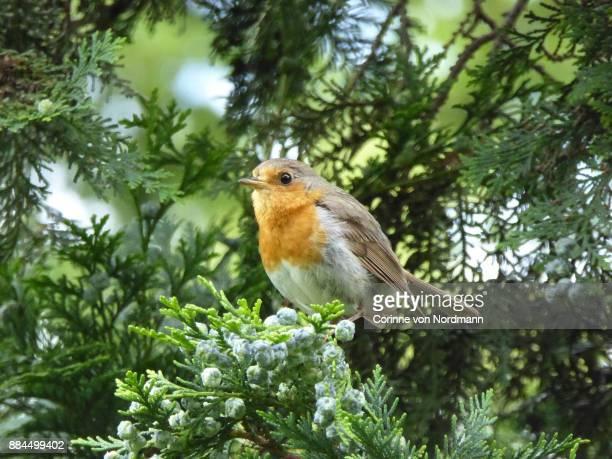 European Robin in Juniper Tree -  Erithacus rubecula
