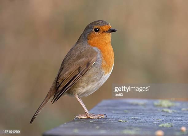 European robin in profile