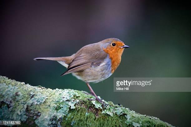 European robin on lichen covered branch