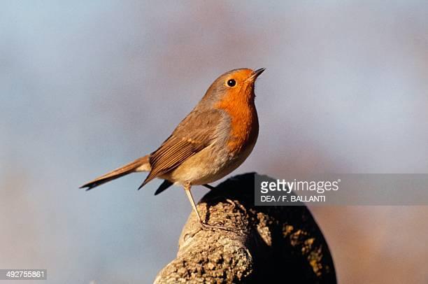 European Robin or Robin Turdidae