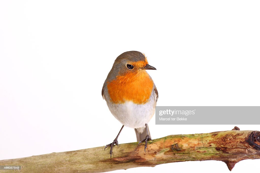 European robin perching on a branch
