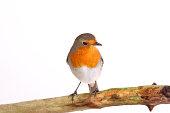 European robin perching on a branch