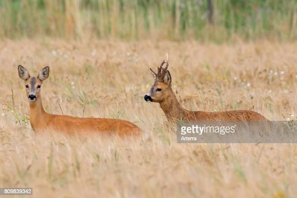 European roe deer buck chasing doe in wheat field during the rut in summer