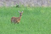 Female european roe deer (Capreolus capreolus) standing in a meadow.
