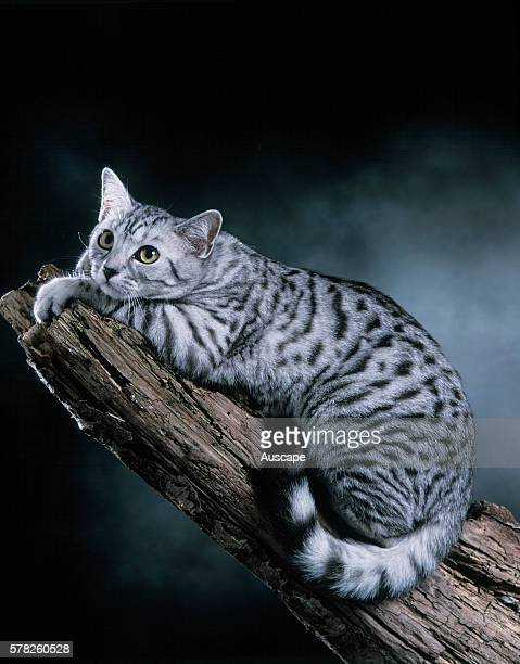 European Silver Spotted Tabby Felis catus resting on log studio photograph