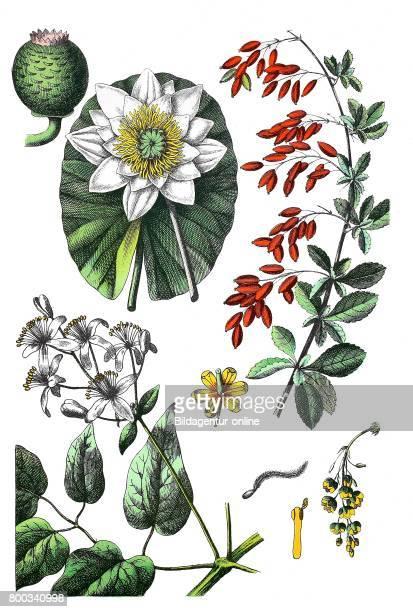 European white water lily white water rose Nymphaea alba common barberry Berberis vulgaris Old man's beard Clematis vitalba