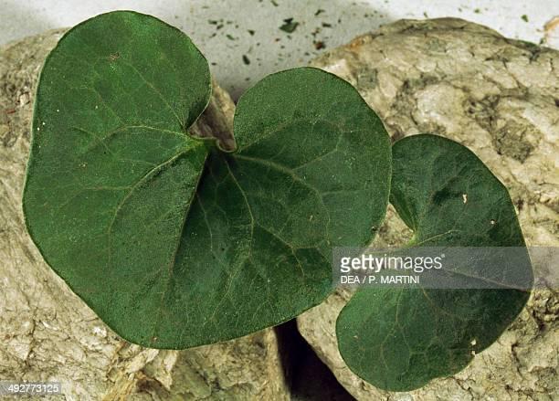 European wild ginger Aristolochiaceae