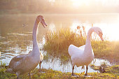 European wildlife, two swan in the grass