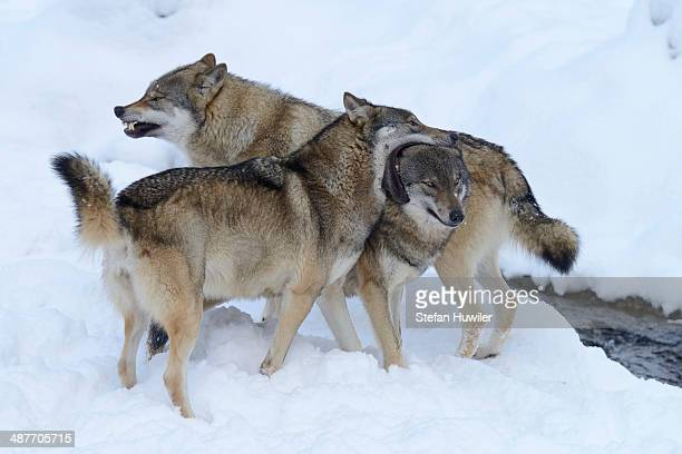 European Wolves -Canis lupus- in the snow, social behaviour, Goldau Animal Park, Canton of Schwyz, Switzerland