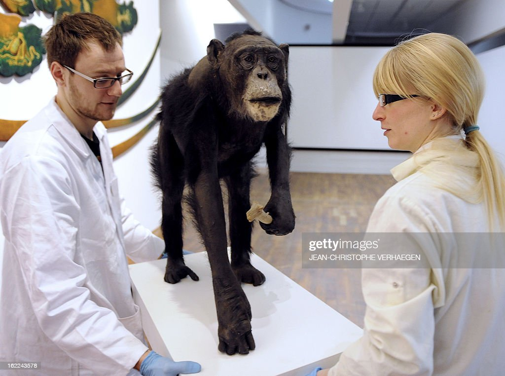 Europe's oldest chimpanzee Jojo, which died at 60 in 2012 is displayed mounted on February 21, 2013 during a presentation to public at the Museum-Aquarium in Nancy, eastern France, almost one year after its death. VERHAEGEN