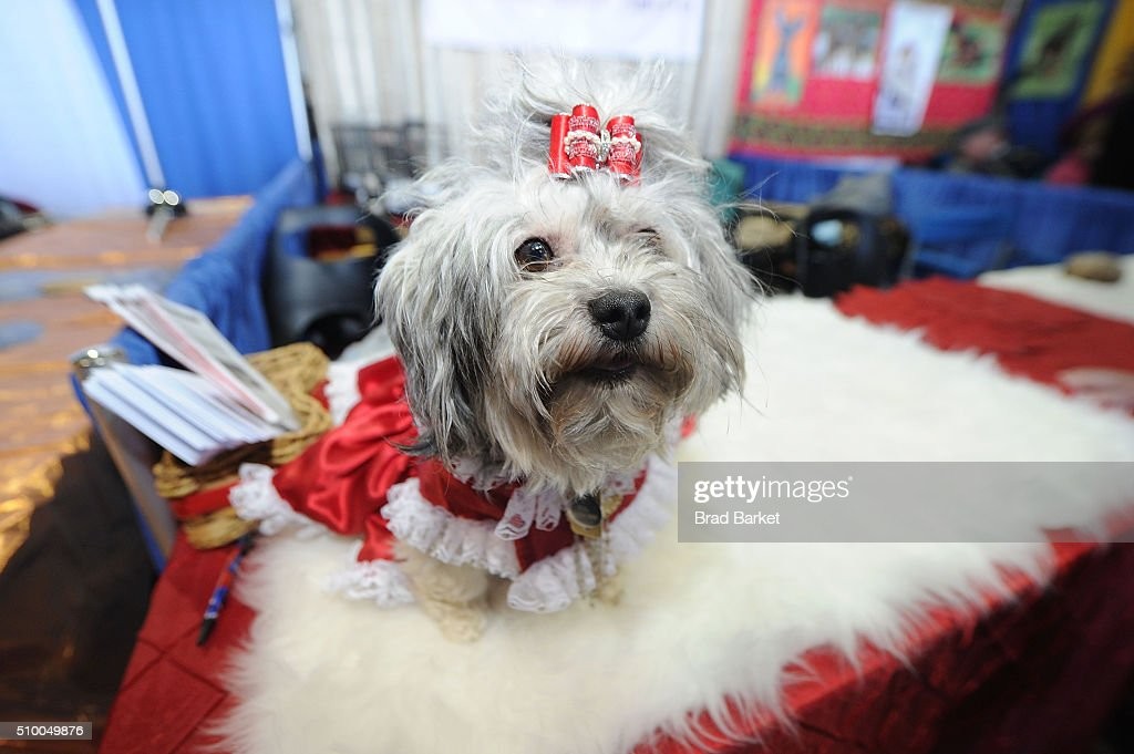 Eva a Russian Tsvetnaya Bolonkas attends the 7th Annual AKC Meet The Breeds at Pier 92 on February 13, 2016 in New York City.