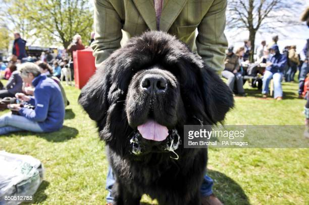 Evan Almighty the fiveyearold Newfoundland dog pants in the sunshine during day three of the Badminton Horse Trials in Badminton Gloucestershire