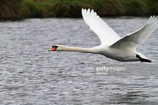 Flying mute swan Cygnus olor