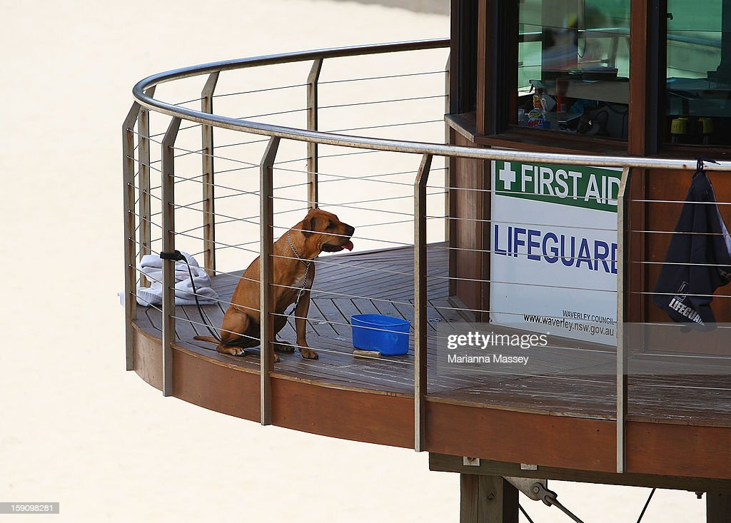 Even the lifeguards' best friend feels the heat at Tamarama Beach on January 8, 2013 in Sydney, Australia. Temperatures are expected to reach as high as 43 degrees around Sydney today.