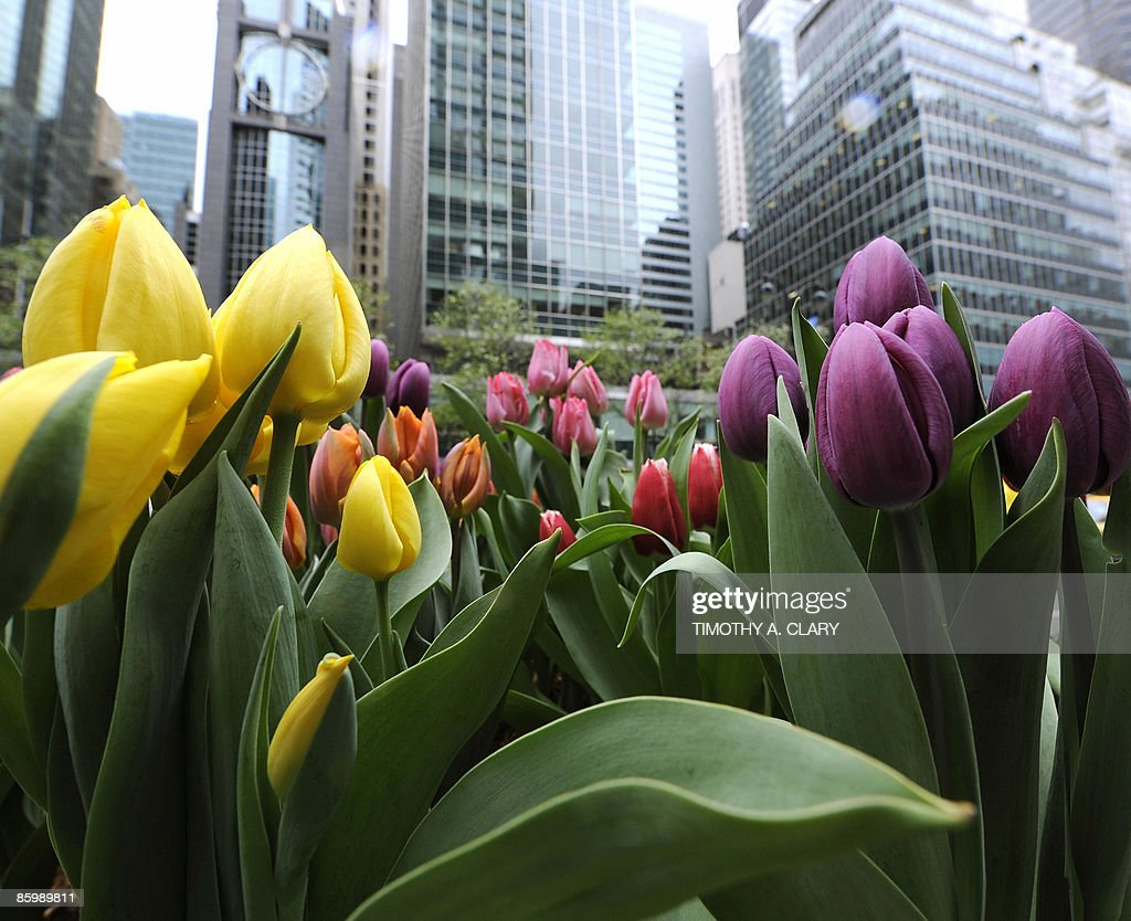 Even though its Spring cool temperatures keep tulips from blooming along Park Avenue in New York April 15 2009 AFP PHOTO/ TIMOTHY A CLARY