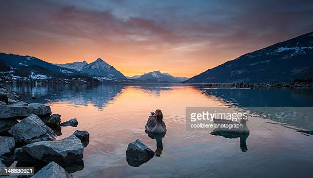 Evening at lake thun with geese floating over
