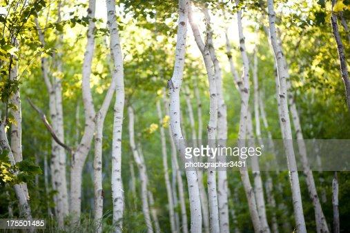 Evening Birch Trees