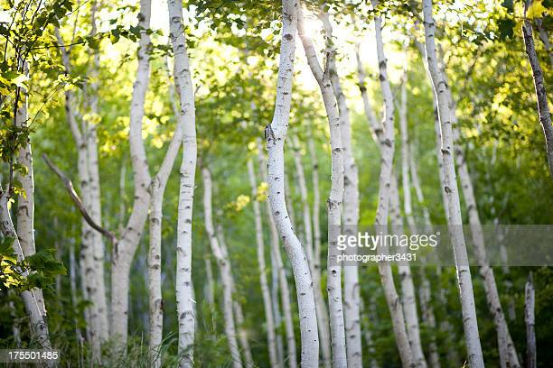 Evening Birch Trees
