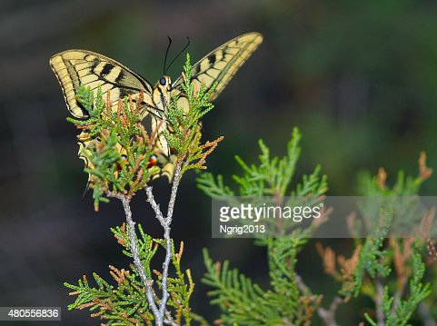 Evening butterfly on a branch of a coniferous tree : Stock Photo
