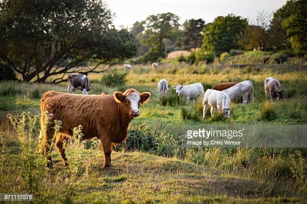Evening cow