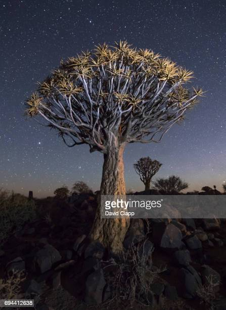 Evening light on Quiver trees in Namibia