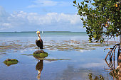 Everglades National Park, lake view and pelican in bird sanctuary