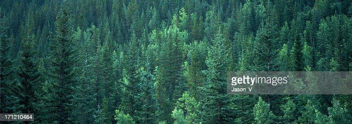 Evergreen Forest Background banner