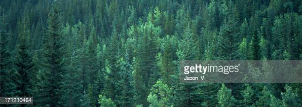 Evergreen Forest Background banner