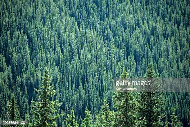 Evergreen forest, Canadian Rockies, Canada