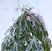Evergreen rhododendron bud with leavesin spring garden, snow covered.