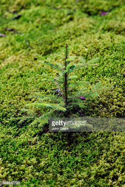 Evergreen spruce seedling sprouts from the moss covered forest floor