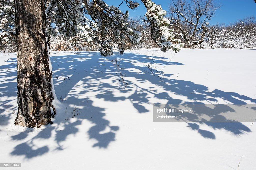 Árbol de hoja perenne y Sombra en blanco nieve : Foto de stock