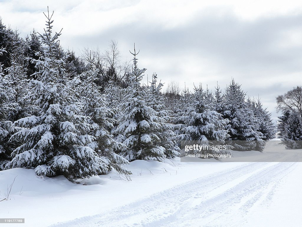 Evergreen Trees And Road In Snow Stock Photo Getty Images