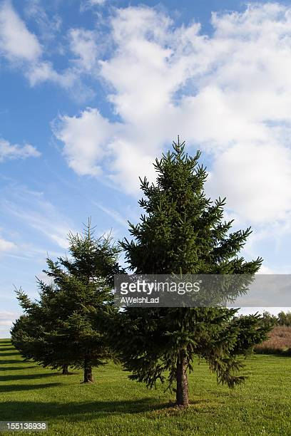 Evergreen trees in a row