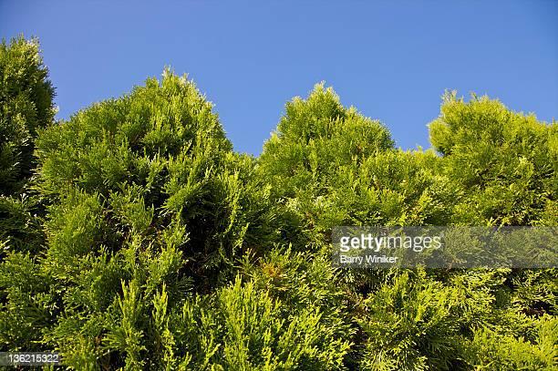 Evergreen trees with peak-like tops.