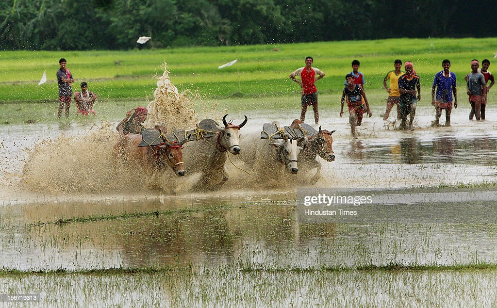 'SOUTH 24 PARAGANA,INDIA -AUGUST 8: Every year farmers take part in a traditional three days Bullock race (Cattle) during monsoon at Kewratalla village on August 8, 2012 in South 24 Parganas, India. The cow race which is almost at the brink of extinction takes place before the sowing of paddy in the field.(Photo by Ashok Nath Dey/Hindustan Times via Getty Images).'