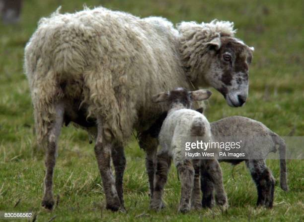 A ewe and her lambs on Spring farm in Cold Overton Rutland who may face extermination in the light of new preventattive measures for foot and mouth...