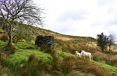 lab and sheep on hillside next to wall