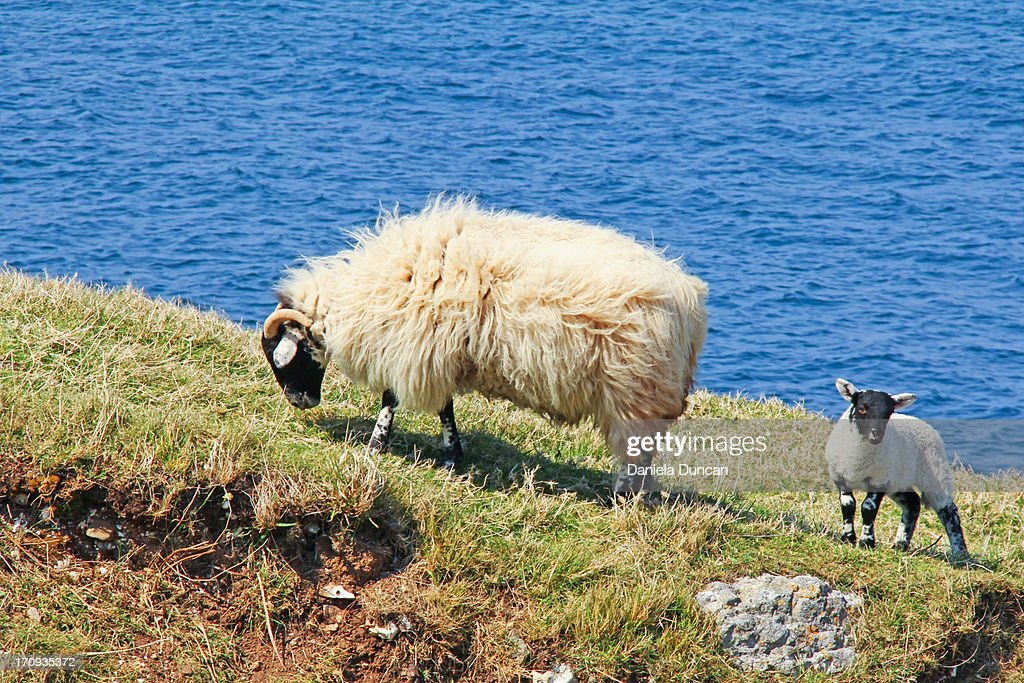 Ewe and lamb : Stock Photo