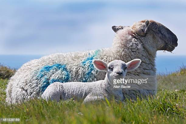 Ewe and lamb sitting in field