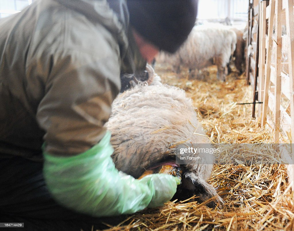 A ewe is assisted with the birth of its lamb by farmer Stuart Buckle during lambing season at his farm in the hamlet of Barras on March 27, 2013 near Kirkby Stephen, Cumbria, England. Stuart, 23, runs Bleathgill Farm with his father Wilf and as heavy snow continues to fall, extra effort is needed to look after and protect their Swaledale sheep from the cold. Across the UK, farmers are battling to save livestock after heavy snow and freezing temperatures has left thousands of sheep and cattle stuck in the fields with no access to food and fresh water.