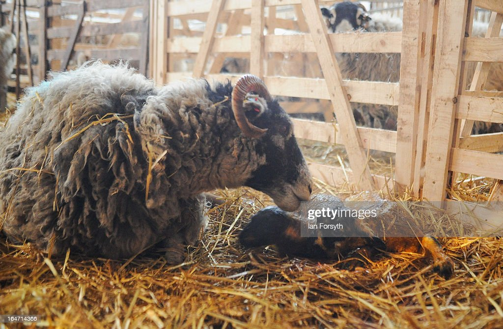 A ewe licks her newborn lamb clean at Bleathgill Farm in the hamlet of Barras on March 27, 2013 near Kirkby Stephen, Cumbria, England. Stuart Buckle, 23, runs Bleathgill Farm with his father Wilf and as the heavy snow continues to fall, extra effort is needed to look after and protect their Swaledale sheep from the cold. Across the UK, farmers are battling to save livestock after heavy snow and freezing temperatures has left thousands of sheep and cattle stuck in the fields with no access to food and fresh water.