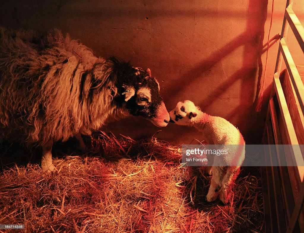 A ewe looks after her newborn lamb under a heat lamp on a farm in the hamlet of Barras on March 27, 2013 near Kirkby Stephen, Cumbria, England. Stuart Buckle, 23, runs Bleathgill Farm with his father Wilf and as heavy snow continues to fall, extra effort is needed to look after and protect their Swaledale sheep from the cold. Across the UK, farmers are battling to save livestock after heavy snow and freezing temperatures has left thousands of sheep and cattle stuck in the fields with no access to food and fresh water.