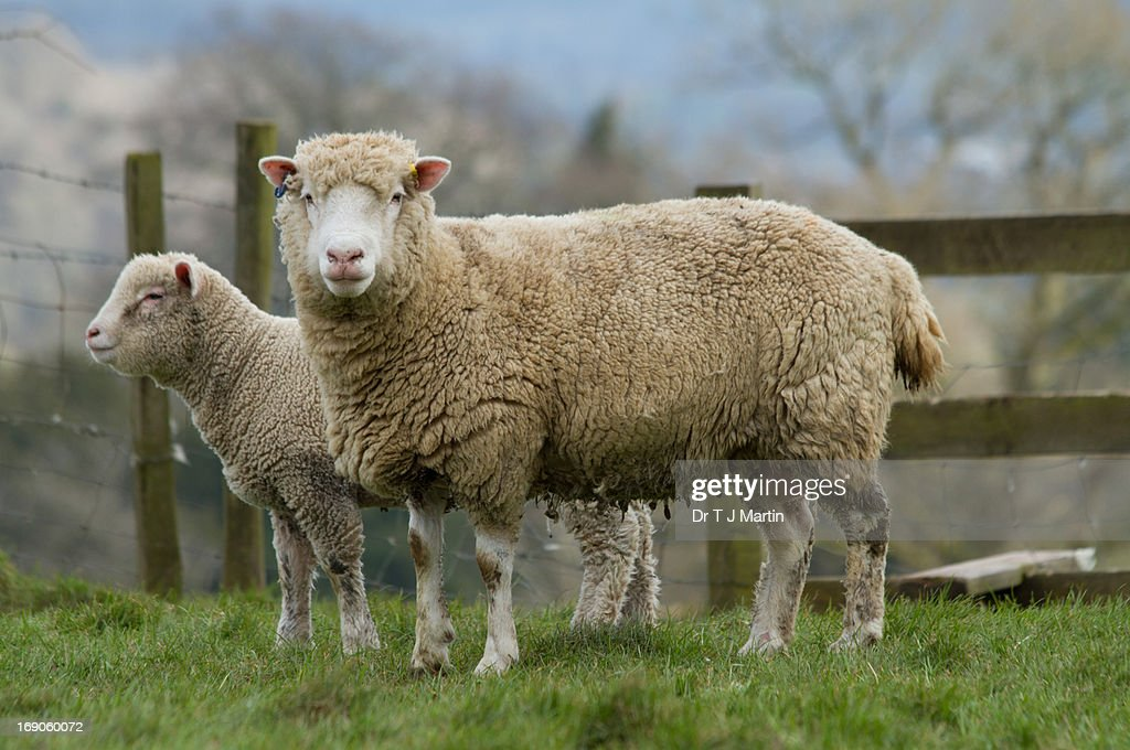 Ewe with her young lamb : Stock Photo