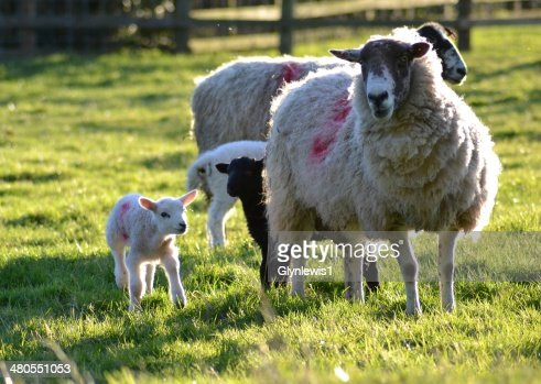 Ewes and lambs : Stock Photo