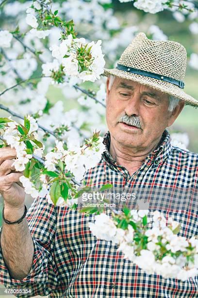 Examining cherry blossom