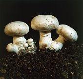 Examples of Button mushroom or Champignon mushrooms Agaricaceae