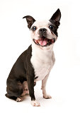 Excited Boston Terrier Sitting on White Background