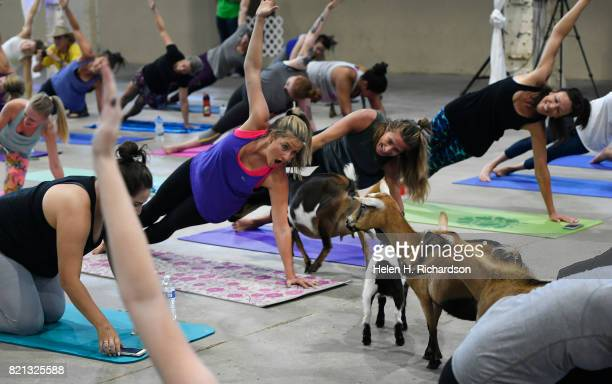 Excited yogi Liz McKenney middle reacts to the goats as they walk around the yoga floor during goat yoga at the Denver County Fair on July 23 2017 in...